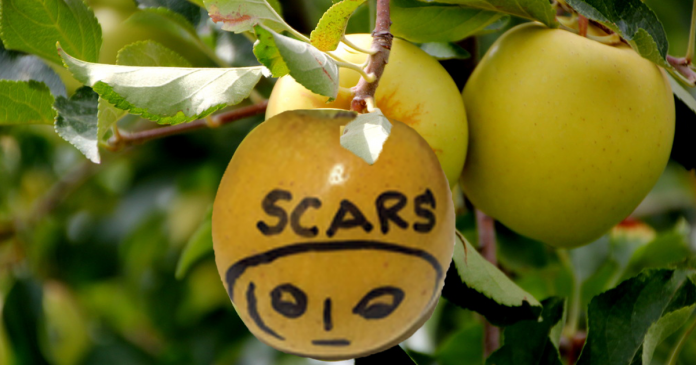 an apple showing scar on its skin